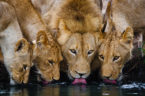 lions drinking water